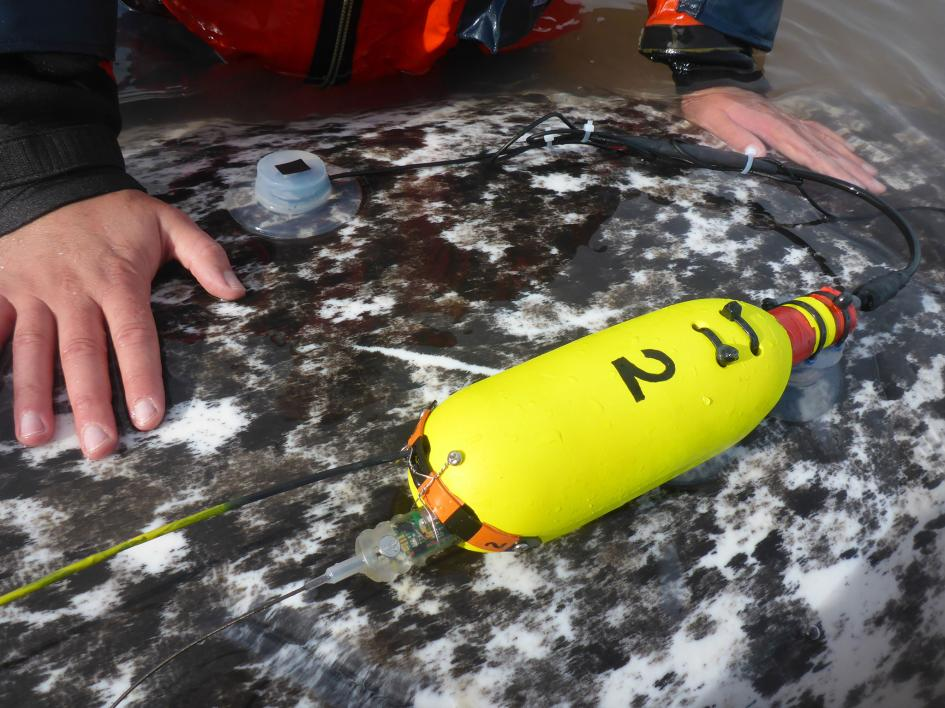 The team of scientists used suction cups to attach the heart-rate monitors connected to a flotation device. After a few days, the monitors fell off and could be collected (Mads Peter Heide-Jørgensen / Pinngortitaleriffik)