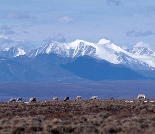 Continued warming could make Alaska's Arctic refuge even more crucial for calving caribou