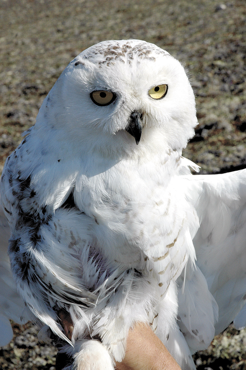 The snowy owl, which is the official bird of Quebec, has many names: Arctic owl, great white owl, ghost owl, ermine owl, tundra ghost, ookpik, Scandinavian nightbird, white terror of the North and highland tundra owl. (Nunatsiaq News file photo)