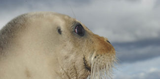 Environmentalists sue to force critical habitat designation for ringed seals