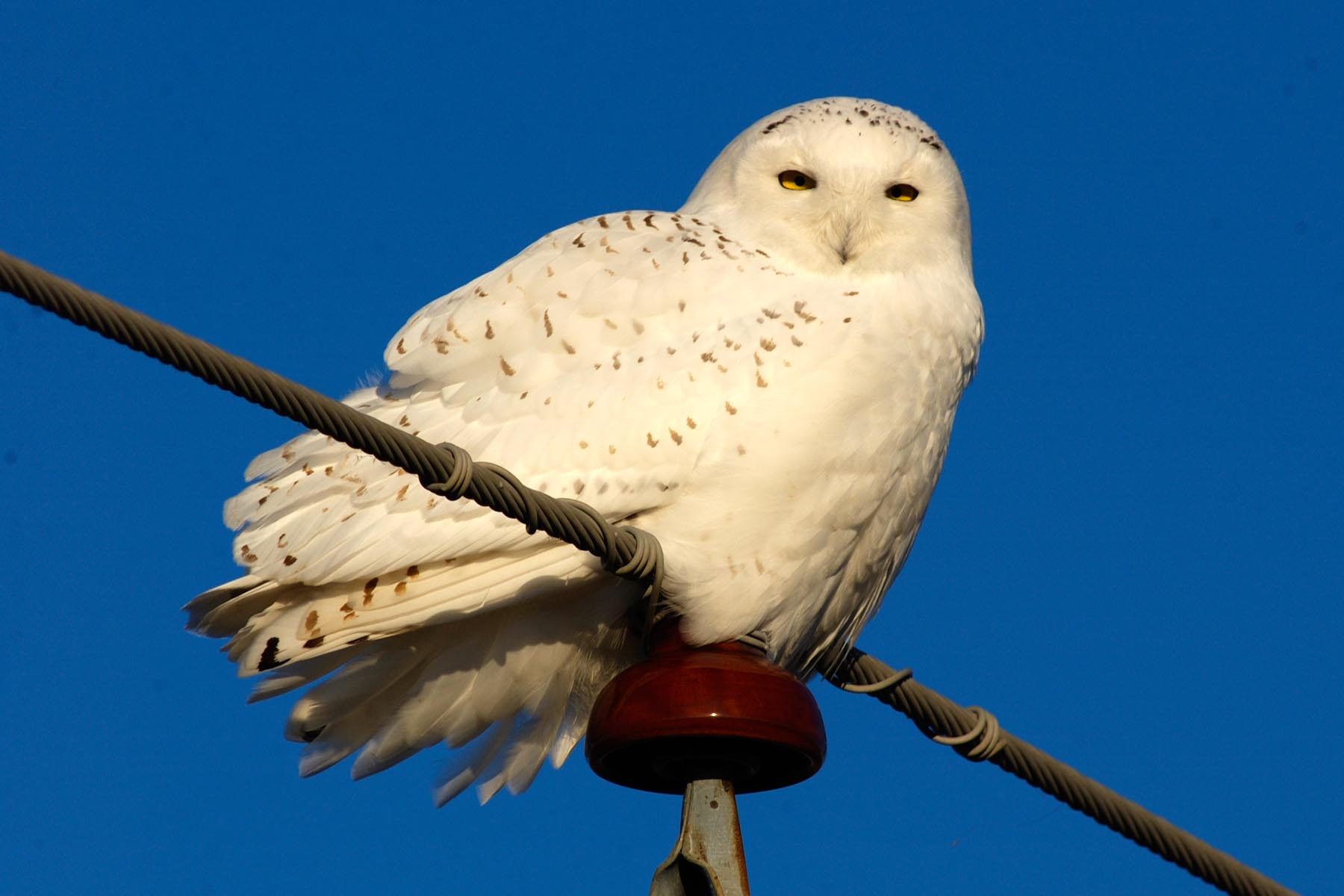 Here's a snowy owl that headed south for the winter—to Missouri. These big Arctic owls have been spotted in previous years as far south as Florida. (Missouri Department of Conservation)
