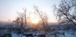 After a sudden rise in reindeer collisions, Norwegian rail authorities will speed up fence-building