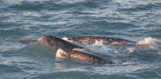 Only a ban on hunting will stop narwhals' disappearance from eastern Greenland, scientists warn