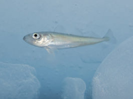 Shipping noises can disrupt Arctic cod behavior, new research finds