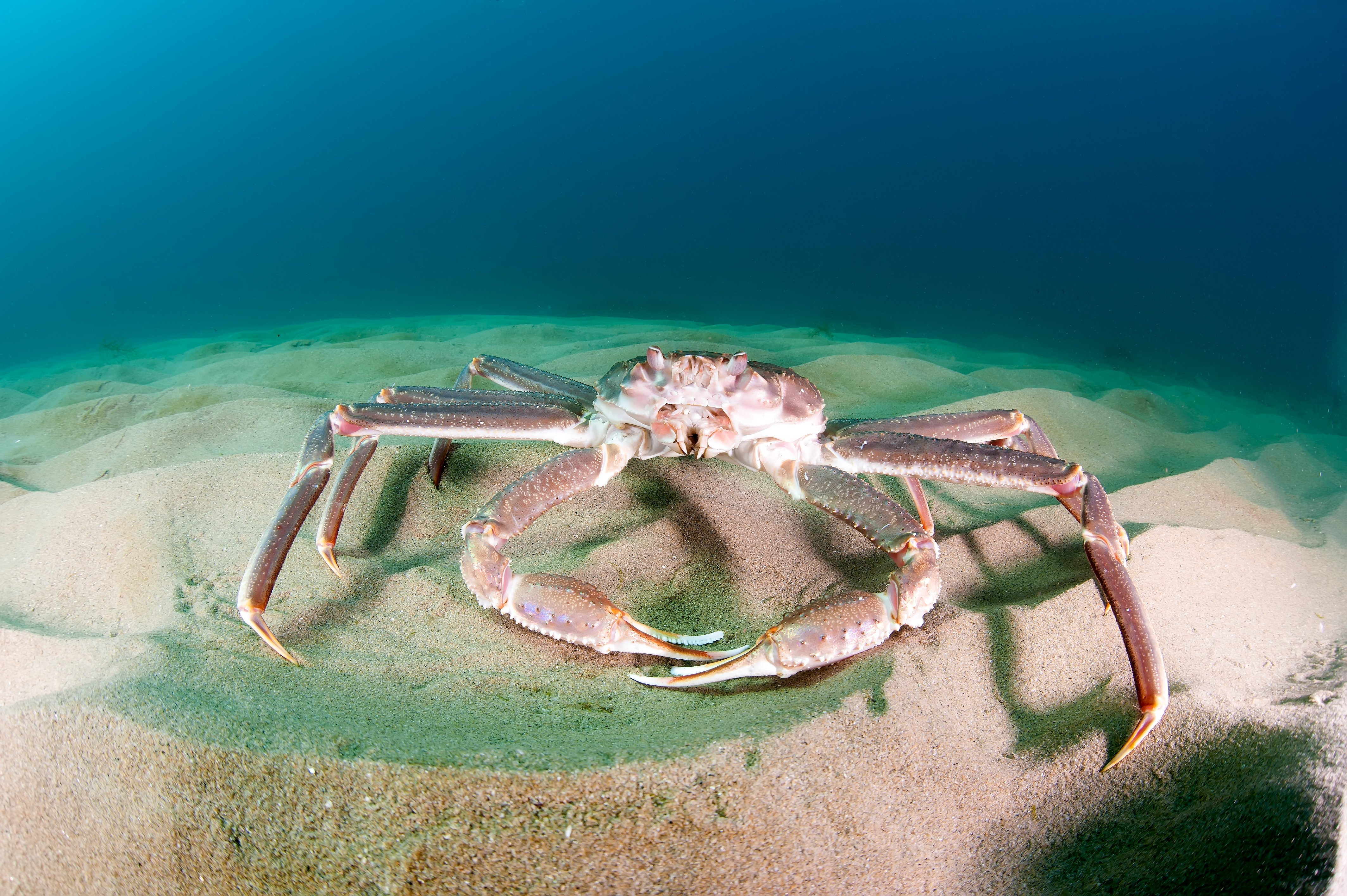 How the saga of Barents Sea snow crab illustrates the