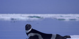 Some Alaska seals are getting skinnier — probably because of retreating sea ice