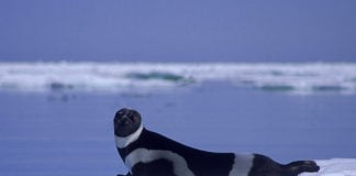 Arctic wildlife remains at risk from contaminants, says a Arctic Council report