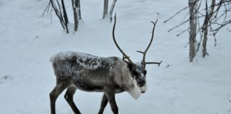 Yamal reindeer get mass vaccination against anthrax