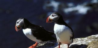 Iceland's puffin in danger of extinction