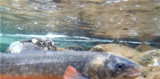 High Arctic Char are in a losing battle with climate change