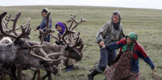 Yamal authorities move to reorganize reindeer husbandry