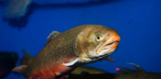 After a sharp drop in subsistence catches, Ottawa earmarks $1.2 million for Arctic char study