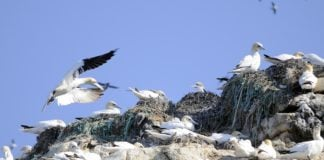 Arctic seabirds build nests with plastic waste