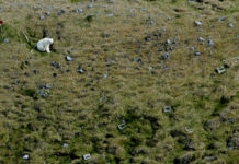 Researchers see a new pattern in the arrival of polar bears to Iceland
