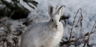 Researchers found the toxic leftovers of a northern Canadian mine in nearby snowshoe hares