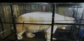 Scientists put polar bears on a treadmill to test how efficiently they walk