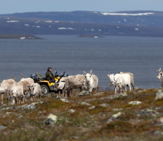 As the Arctic warms, reindeer herders face encroachment from new industries