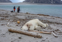 The furor over a tourism-related polar bear death misses some key facts