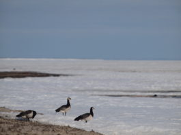 Climate change has barnacle geese racing north