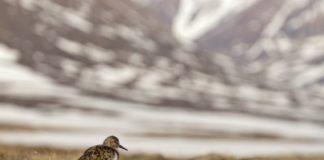 How unusual late spring snow devastated shorebirds in northeast Greenland