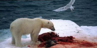 Polar bears in eastern Barents Sea have most chemical pollutants