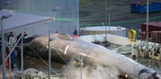 A conservation group is suing an Icelandic whaling company for killing a hybrid whale