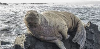 A walrus turns up in East Iceland