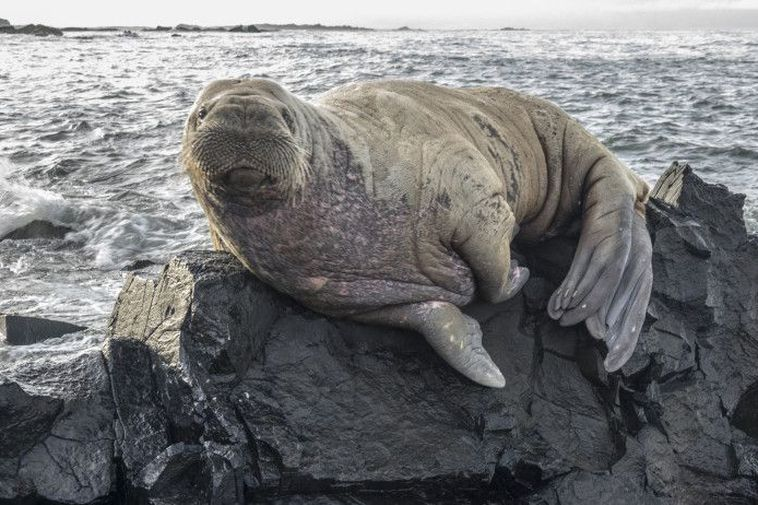 """Image result for walrus"""""""