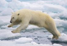 Greenland polar bear management plan seeks balance between conservation and exploitation