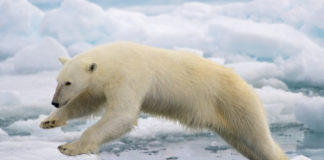 How the narrative on polar bears has become a problem for Arctic environmental groups
