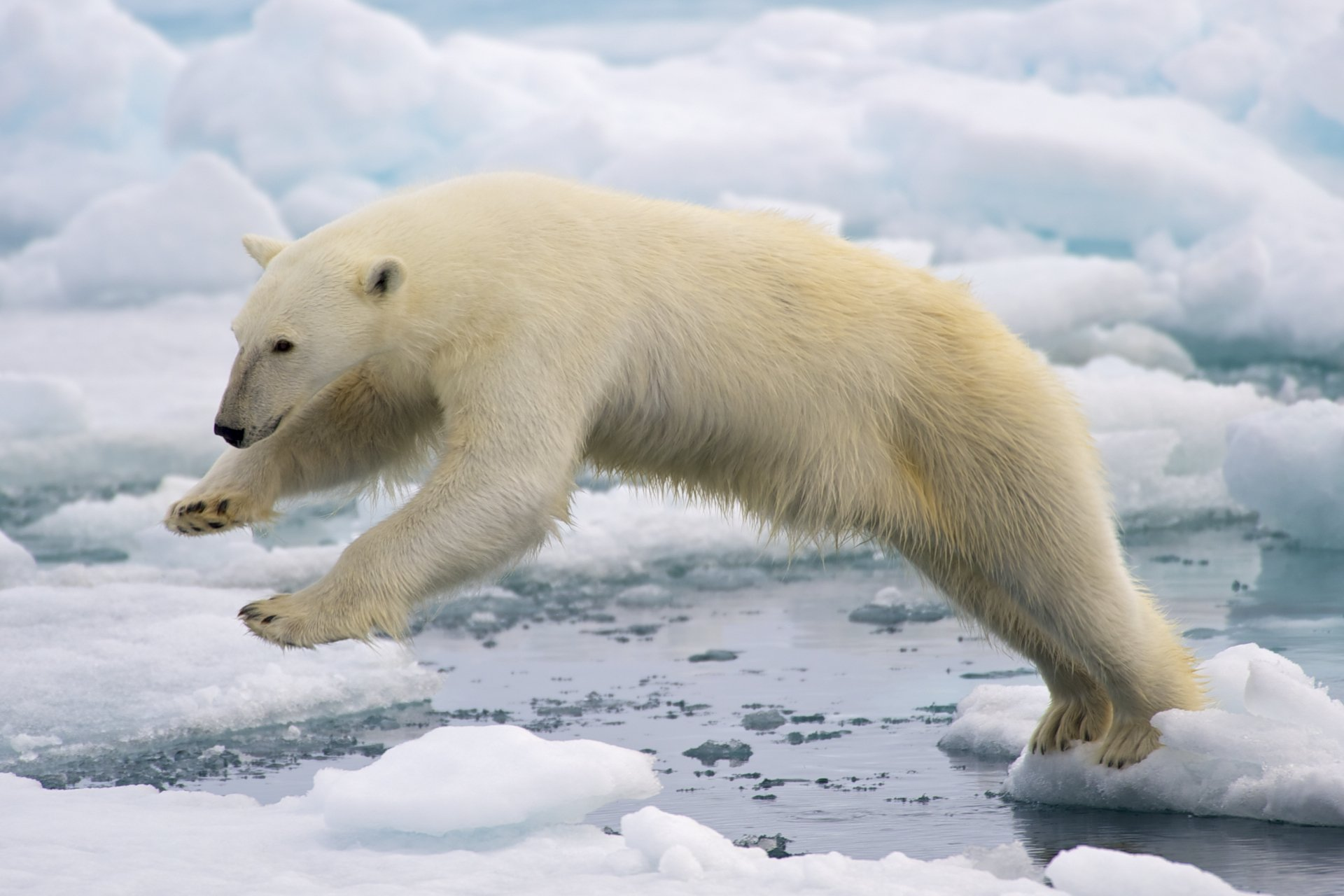 011a2ba7 How the narrative on polar bears has become a problem for Arctic ...