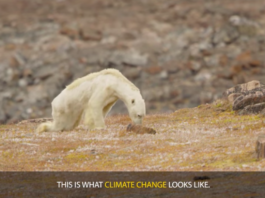 National Geographic admits skeletal polar bear-global warming link 'went too far'