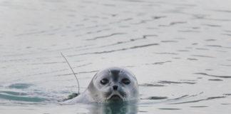 A new study finds no plastics in eastern Arctic seals