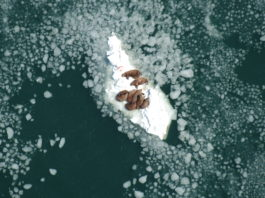 How you can help scientists track Arctic walrus populations from space
