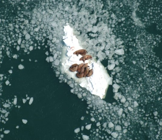 Pacific walrus protections are poised to get a fresh look