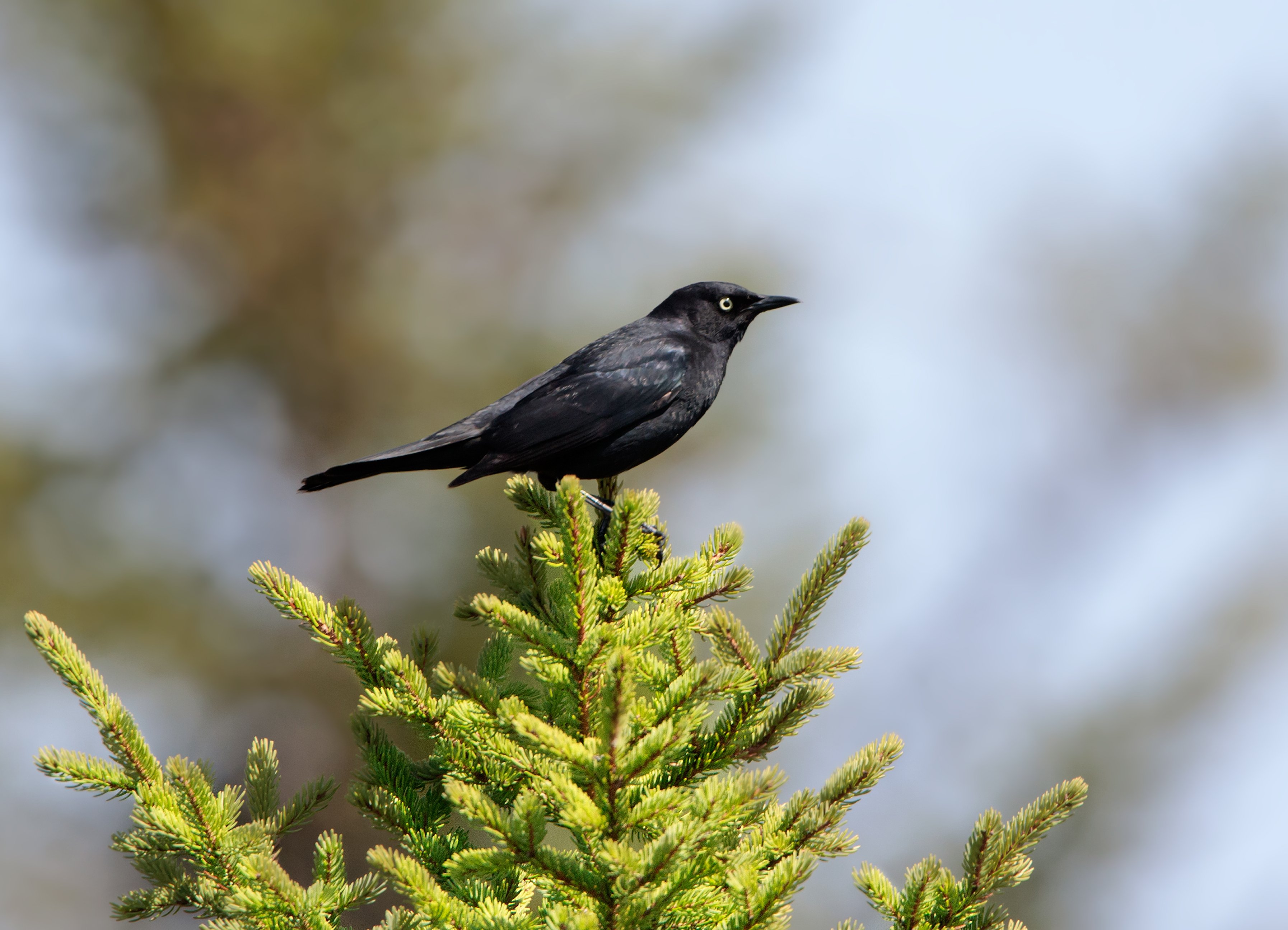 Birds in the boreal forest will venture further north as the climate changes
