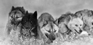 Researchers pull together to grasp a fuller picture of the Greenland sled dog