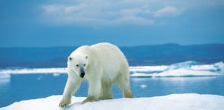 Reflecting local fears of increased attacks, Nunavut's new draft polar bear plan boosts quotas
