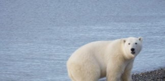 The first-ever scientific population estimate finds Chukchi Sea polar bears have thrived in recent years