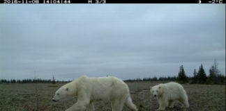 Along Canada's Hudson Bay, researchers have found grizzly, black and polar bears together for the first time