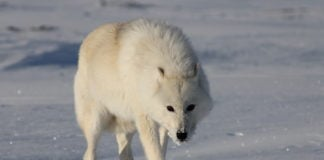 A new DNA study reveals a previously unidentified North American 'polar wolf'