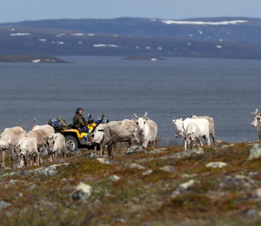 Norwegian legislature won't halt order requiring herder to put down 275 reindeer