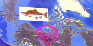 New fish species are moving into the Canadian Arctic as its waters warm