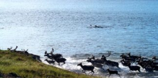 Nunavut's biggest caribou herd faces still faces downward trend, warns report