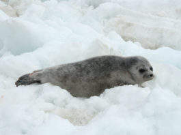 US regulators propose habitat protections for Alaska's threatened ice seals