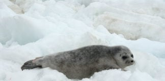 US federal agency denies a petition to delist Alaska's ringed seals