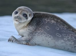 For seals, melting glaciers offer only a temporary refuge from global warming
