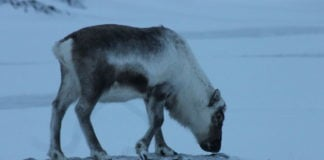 Thanks to climate change, some Svalbard reindeer have added kelp to their diet
