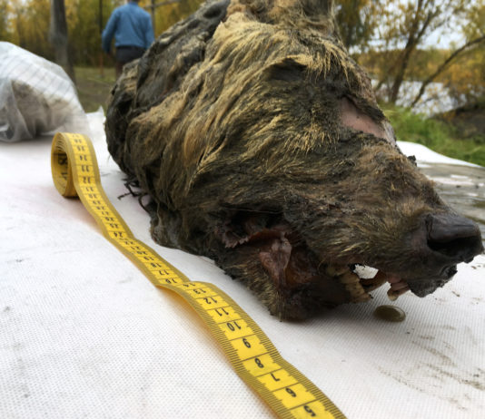 In Russia, a 40,000 year-old wolf head is uncovered, preserved in ice