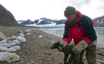 An Arctic fox surprises researchers with an epic run across polar ice from Svalbard to Canada